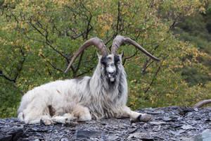 Goat Stock 8 by Kassmir