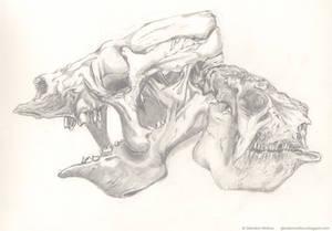 Eremotherium Glyptodon skulls