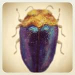 Trachys Jewel Beetle by GlendonMellow