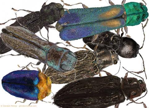 Jewel Beetle Crowd