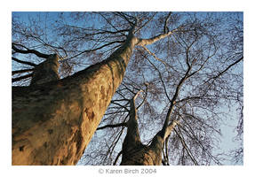 Plane Tree Two by karenbirch