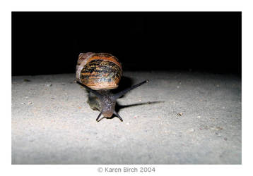 Night Snail by karenbirch