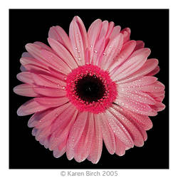 Gerbera by karenbirch