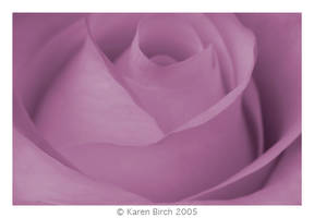 Dreamy Rose by karenbirch