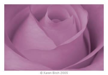 Dreamy Rose by karenbirch
