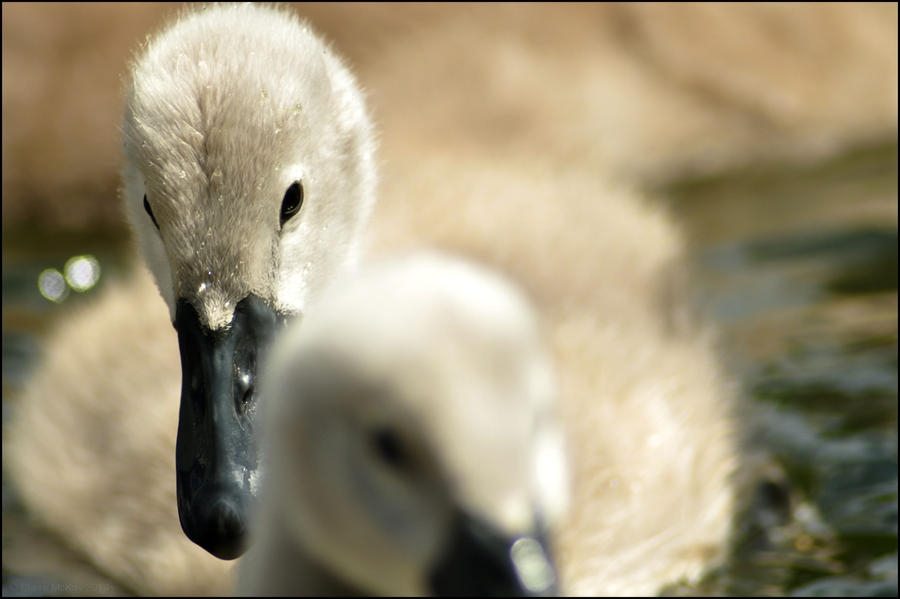 Cygnets by Somebody-Somewhere