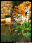 Tiger Reflected
