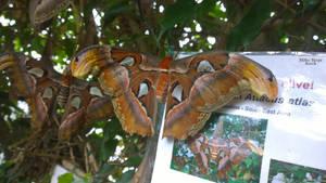 Atlas Moth by Millie-Mops-Stock