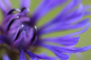 Centaurea montana - mountain cornflower by CBKphotos