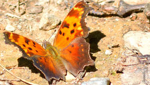 Butterfly Series (Comma) by sioranth
