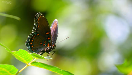 Butterfly Series (Red-Spotted Purple)