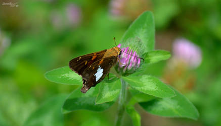 Butterfly Series (Silver-Spotted Skipper)