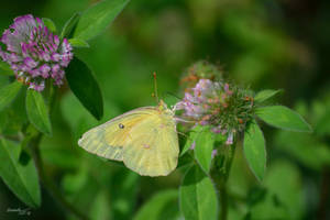 Butterfly Series (Clouded Sulphur)
