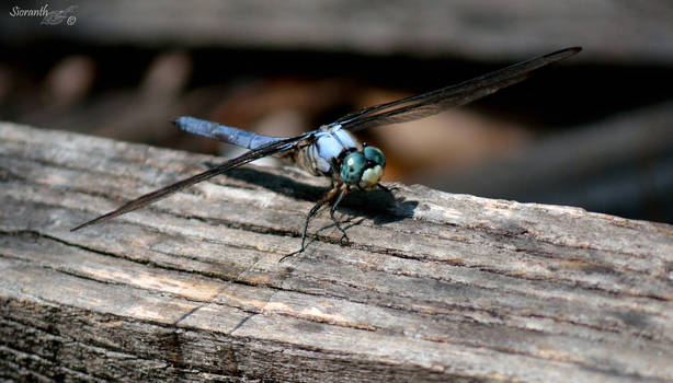 Dragonfly Series (Great Blue Skimmer)