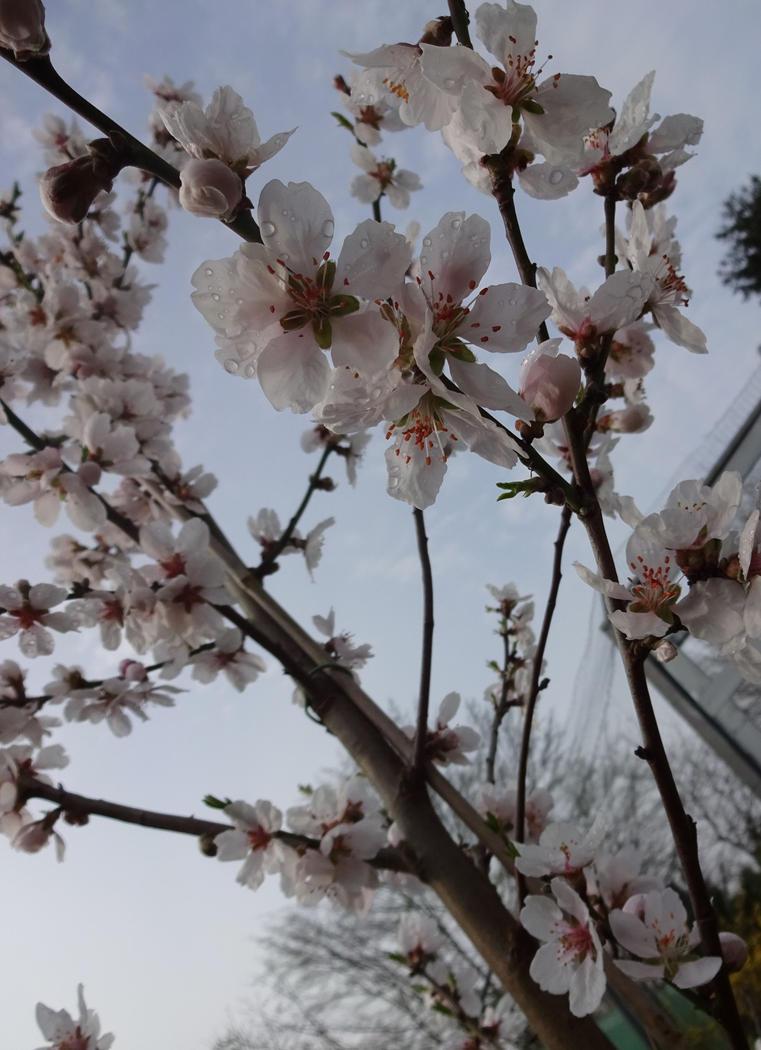 Almond tree blooming in early spring by El-Chupacabras