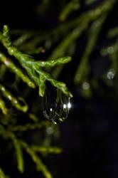 Pine Drop II by Apache1322