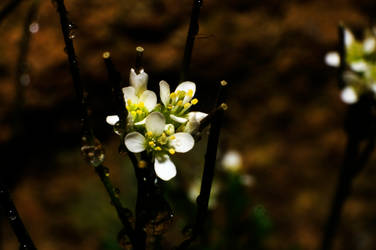 White Flowers by Apache1322
