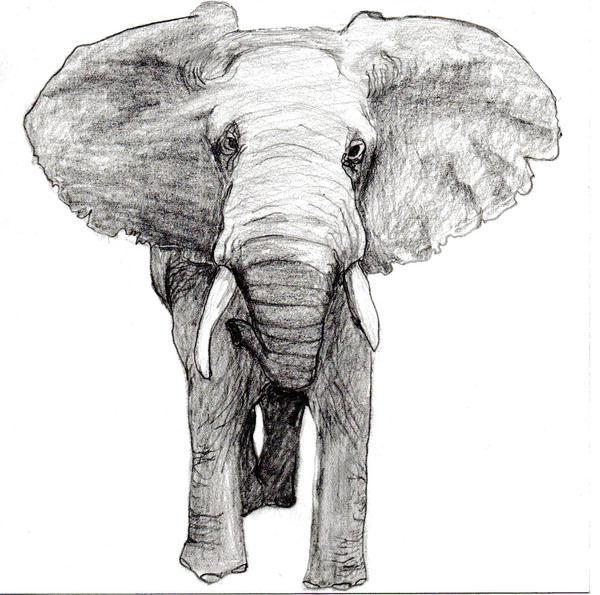 Realistic Elephant Drawings Realistic Elephant Drawing