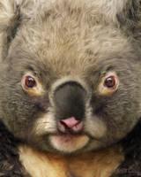 Koala by KomodoEmpire
