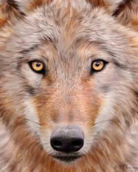 Mongolian Wolf by KomodoEmpire
