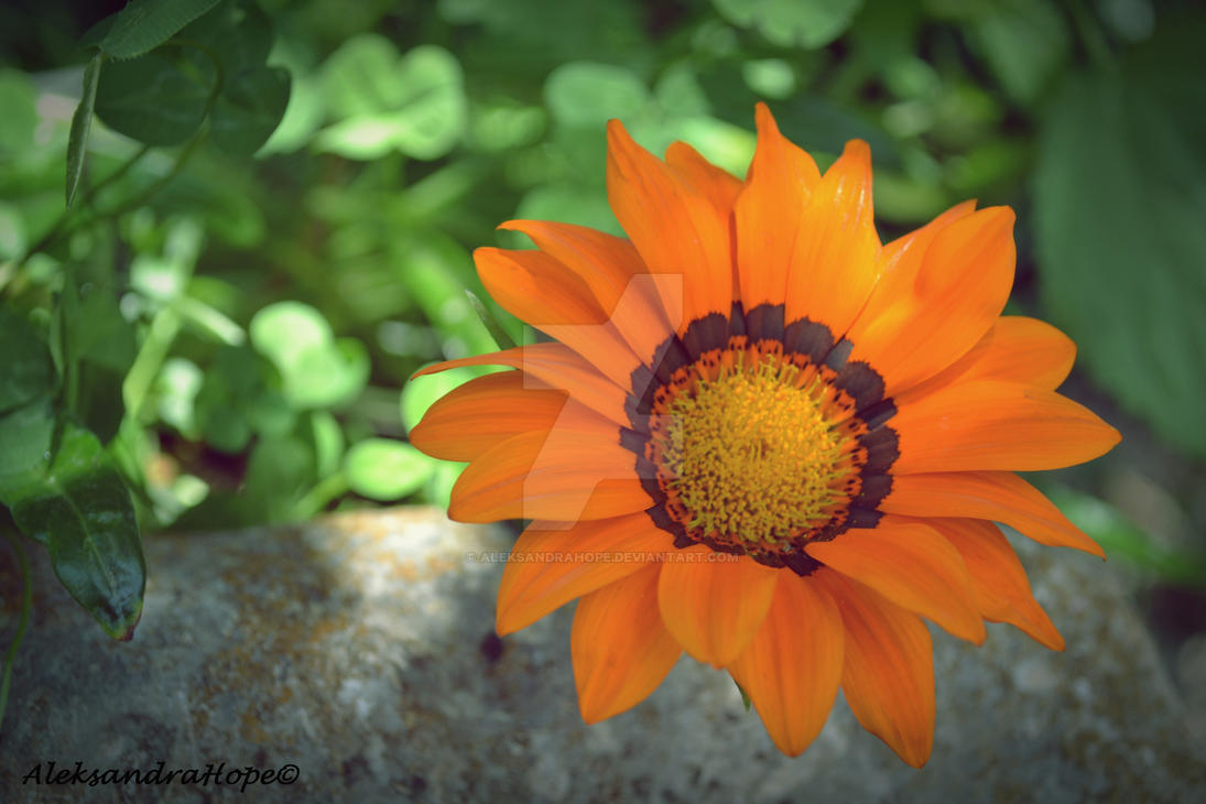Sunflower. by AleksandraHope
