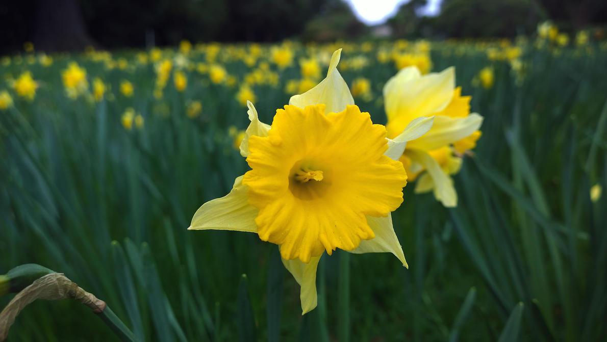 Daffodil by imperidal