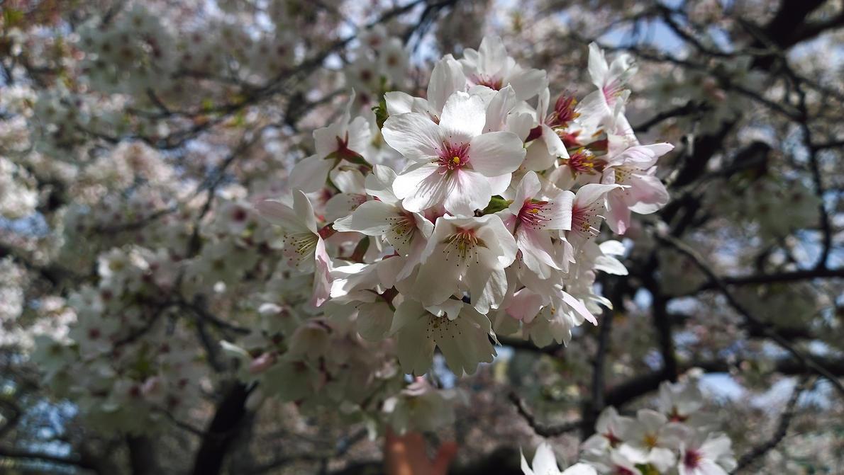 Sakura Sakura Sakura by imperidal