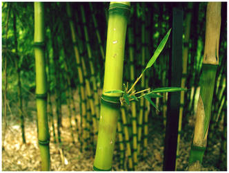 Bamboo by flames-of-monki