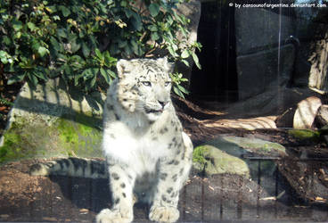 Snow leopard IV by Cansounofargentina