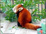 Red panda XIII