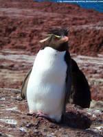 Rockhopper penguin by Cansounofargentina
