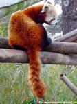 Red panda XVI