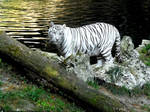 White tiger IV by Cansounofargentina