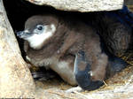 Magellanic penguin 9 by Cansounofargentina