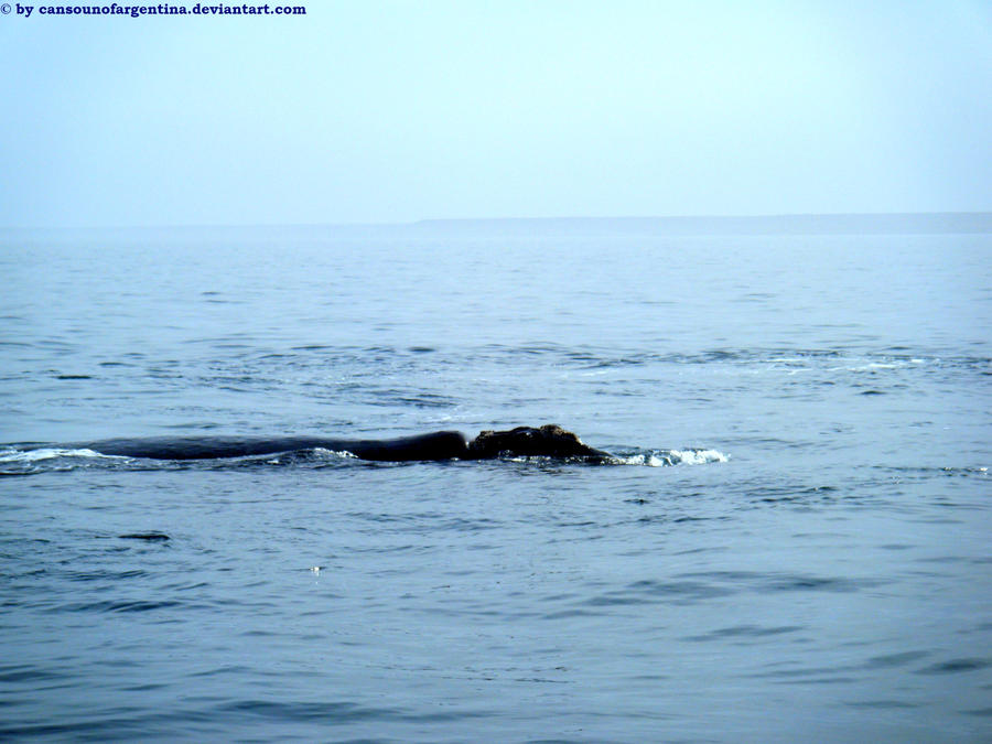 Southern Right Whale XVIII by Cansounofargentina