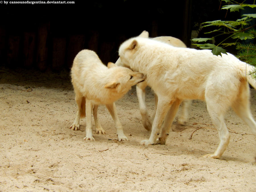 Arctic wolves 1 by Cansounofargentina