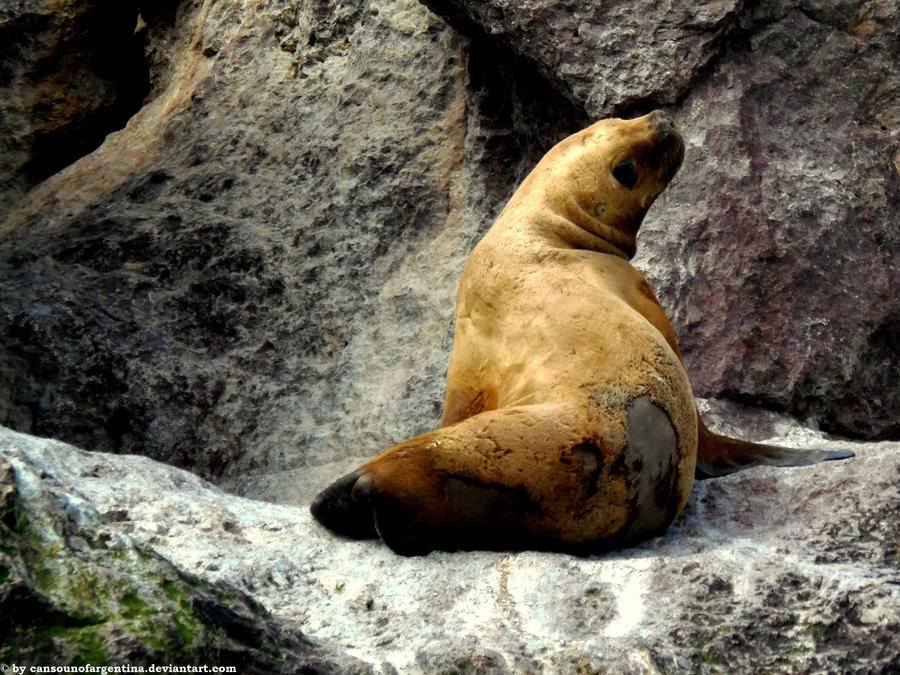 Sea lion 4 by Cansounofargentina
