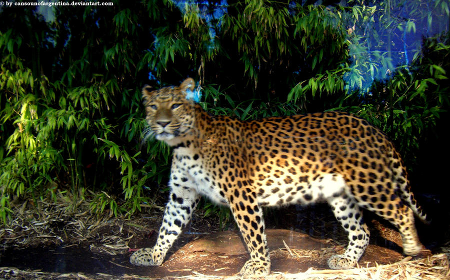 North chinese leopard VI by Cansounofargentina