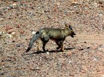 Gray fox 1 by Cansounofargentina