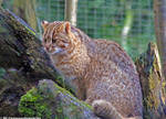 Leopard cat 2 by Cansounofargentina