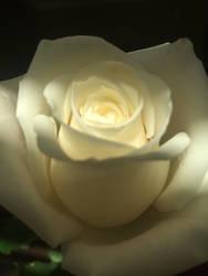 White Rose by multifandomed25