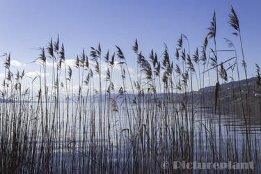 Looking through the reeds by Pictureplant