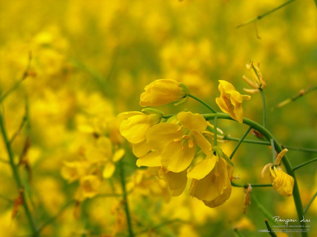 Mustard flowers, Raiganj, WB, India by rangan2510 on ...
