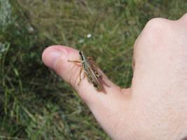 00048 - Grasshopper by emstock