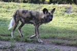 00209 - Wild Dog Walking