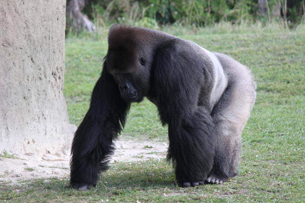 00253 - Stooped Gorilla