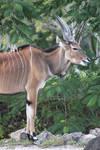 00234 - Greater Kudu
