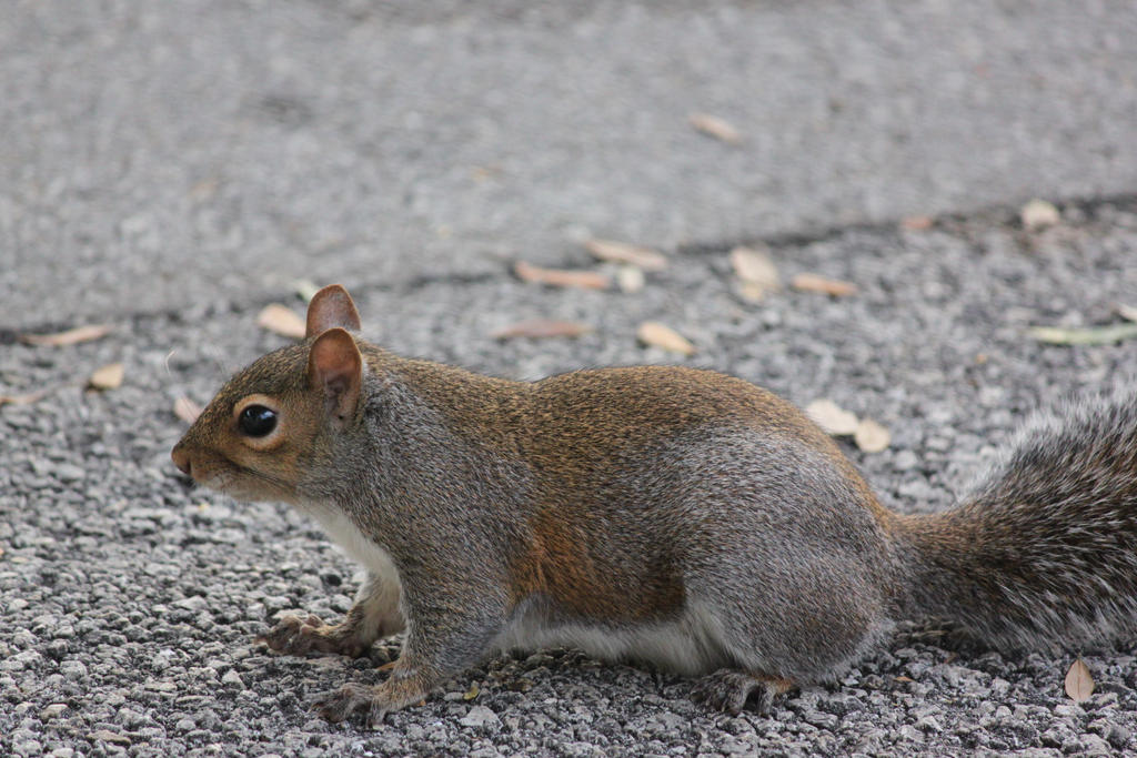 00298 - American Red Squirrel by emstock
