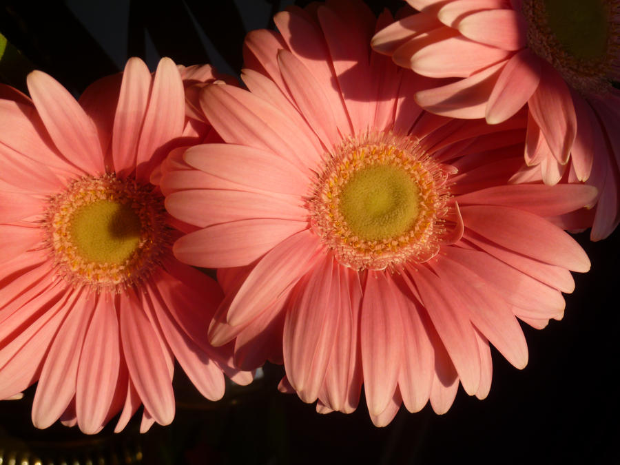 Gerber daisies by brokenkaizer