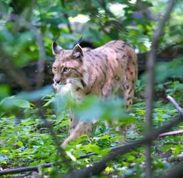 Lynx with Prey